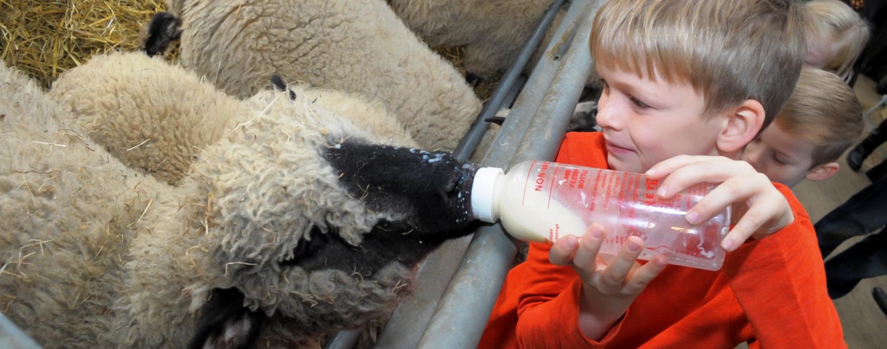 lamb bottle feeding web