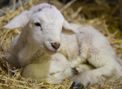 Lambing Week