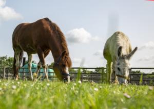 pony and donkey grazing at barleylands