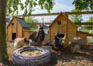 chickens at barleylands farm park billericay essex