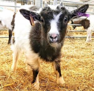 Bagot goat kid at barleylands