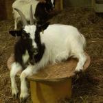 Goat at Barleylands Farm Park Essex